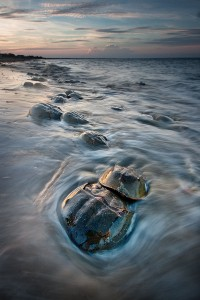 Horseshoe Crab Ritual - Slaughter Beach - Delaware
