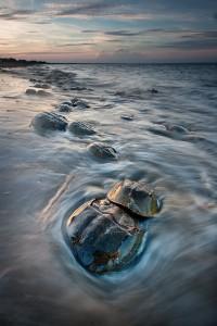 Horseshoe Crab Ritual - Slaughter Beach - Delaware