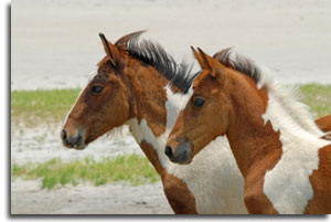 assateague_ponies2