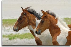 assateague_ponies2
