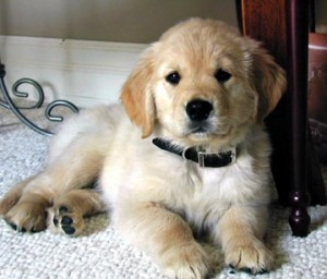 golden-retriever-0085