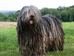 large B. Dog