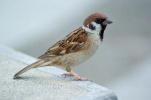 angola 97 sparrow