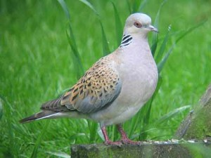 angola91 turtle dove