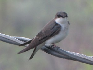 crane4 swallow