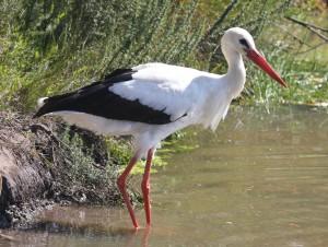 crane8 white stork