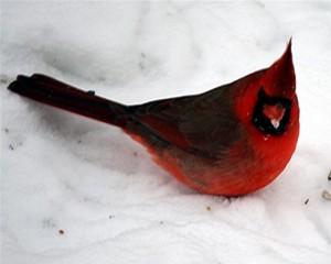 redbird1