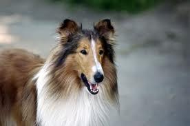 flanders7 lassie